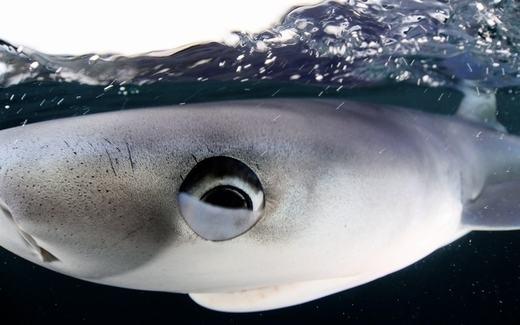 Mắt của một chú cá mập xanh, khoảnh khắc này được chụp ởngoài khơi bờ biển off Penzance, Cornwall. (Ảnh: Will Clark)