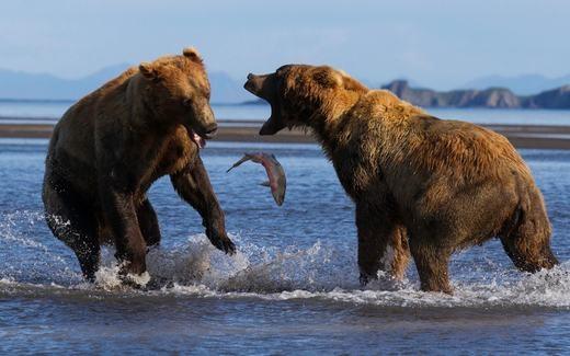 Hai chú gấu đang tranh nhau một con cá ở Alaska. (Ảnh: BRAD Josephs)
