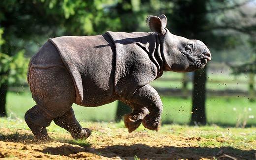 Chú tê giác 1 sừng ở Bali đang tung tăng vui đùa trong vườn thú Whipsnade. (Ảnh: Tony Margiocchi)