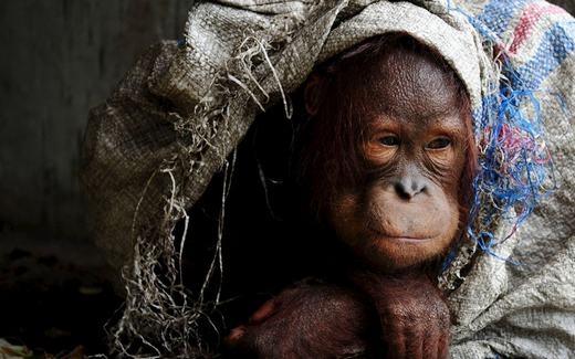 Chú đười ươi buồn bã do bị nuôi nhốt ở một ngôi làng có tên là Korek ở tỉnh Tây Kalimantan của Indonesia. (Ảnh: REUTERS)