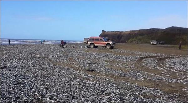 Lí giải hiện tượng cá ngừ chết hàng loạt bên bờ biển Nga