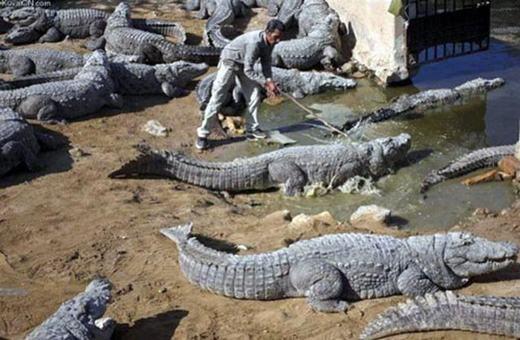 """""""Ai nói cá sấu nguy hiểm? Tôi đứng giữa 'rừng' cá sấu có bị sao đâu nhỉ?"""". (Ảnh: Internet)"""