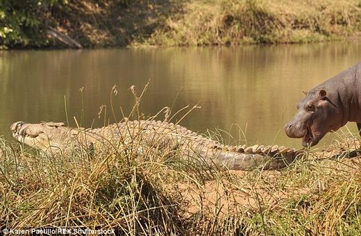 """Theo đó, hà mã sau khi thấy cá sấu đang nằm phơi nắng bên bờ sông đã """"giở trò"""" nhằm lôi kéo sự chú ý. Tuy nhiên, có vẻ như con cá sấu không quan tâm điều này và tiếp tục phơi nắng. (Ảnh:Karen Paolillo)"""