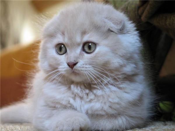 Một chú mèo đáng yêu như thế này có giá từ 500 USDđến 3.000 USD (khoảng 11 đến65 triệu đồng).(Nguồn: Internet)