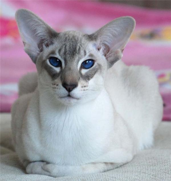 Một chú mèo như thế này có giá từ 1.200 USD đến 5.000 USD(khoảng 26 đến 112 triệu đồng). (Nguồn: Internet)