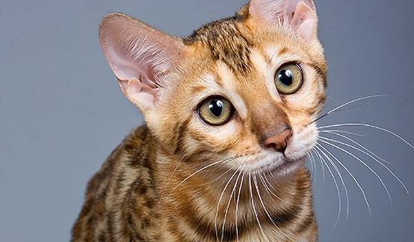 Bạn muốn nuôi mèo nhưng lại sợ dị ứng? Hãy chi ngay 6.000 USD (khoảng 125 triệu đồng)để sở hữumột em mèo Allerca. (Nguồn: Internet)