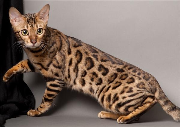 Nếu bạn muốn nhà của mình thêm phần hùng dũng bởi dáng vẻ của loài mèo này thì bạn sẽ phải sẵn sàng bỏ ra 400 USD - 2.500 USD (khoảng 8 triệu đến 45 triệu đồng). (Nguồn: Internet)