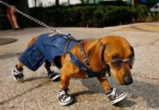 Một chú chó ở Los Angeles đi dạo với bộ trang phục cùng các phụ kiện thời trang sành điệu. Đây là hình ảnh thật 100%, không photoshop đâu đấy nhé! (Ảnh: Internet)