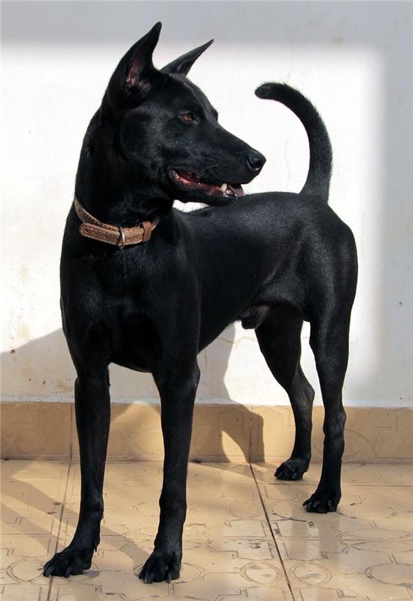 """Chó Phú Quốc với dáng hùng dũng và đuôi vút cau"""" đặc trưng. (Nguồn: Internet)"""