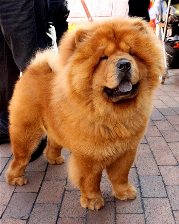 Chú chó đáng yêu này có giá từ 3.000 USD đến 8.500 USD (khoảng 46 triệu đồngđến 185 triệu đồng). (Nguồn: Internet)