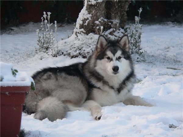 Một chú chó Eskimo có giá tầm 6.000 USD (khoảng 124 triệu đồng). (Nguồn: Internet)