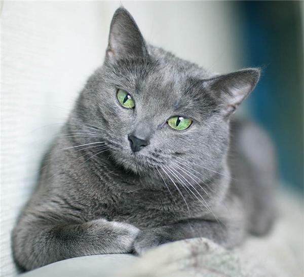 Một chú mèo Nga mắt xanh có giá tầm 400 đến 3.000 USD (khoảng 8 đến 65 triệu đồng). (Nguồn: Internet)