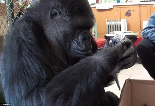 """Cô khỉ Koko chơi đùa, """"nựng yêu"""" những chú mèo. (Ảnh: Internet)"""