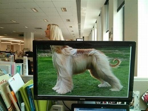Đây là chú chó xù đẹp nhất thế giới?(Ảnh: Internet)