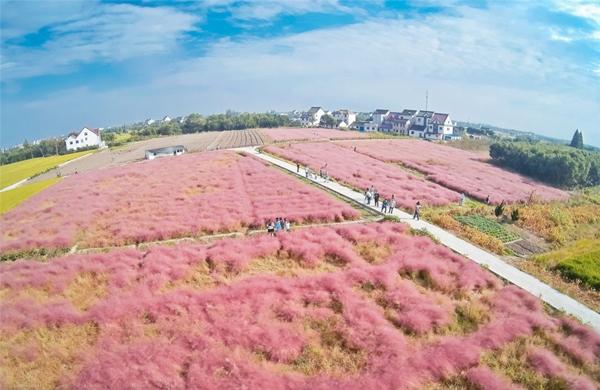 Cứ đến dịp này là cánh đồng cỏ màu hồng mềm mịn này lại trở thành một địa điểm thu hút khách du lịch ở Trung Quốc, đem lại nguồn thu nhập cho nông dân ở đây.