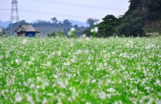 Bản Thông Cuông mùa hoa cải trắng bạt ngàn.(Ảnh: Internet)