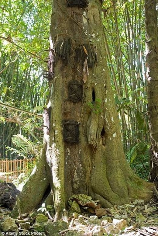 Theo đó, khu vực hẻo lánh ở Tana Toraja, miền nam Sulawesi, cách 186 dặm về phía bắc của Thủ đô Makassar, Indonesia - nơi sinh sống của tộc người Torajan - sở hữu tục lệ an táng người chết kì lạ. Họ chôn cất những đứa trẻ chẳng may mất sớm trong các thân cây, và nơi đó được gọi là mộ cây. (Ảnh: Internet)