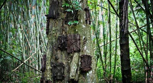 Người thân của những em bé xấu sốchọn thân cây lớn, khoét một lỗ to và đặt tử thi vào đó ở tư thế đứng bởi theo quan niệm của người Torajan, như vậy sẽ dễ lên thiên đàng hơn. (Ảnh: Internet)