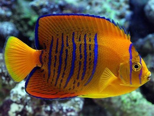 Đây là cá Thiên thần Clarion (Clarion Angelfish), sinh sống chủ yếu ở vùng biển Mexico vàmột số ít ở quần đảo Revillagigedo. Đây là loài cá quý hiếm của Mexico, thế nênnếu muốn nuôi, bạn phải có giấy phép của chính phủ nước này. Ngoài ra, trừ khi bắt được, bạn phải trả tối thiểu 2.500 USD (khoảng 56 triệu đồng) nếu mua lạitừ mộtai đó. (Ảnh: Internet)