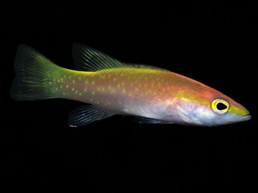 """Trong họ cá mú có một loài đắt đỏ khác là Golden Basslet sinh sống chủ yếu ở Thái Bình Dương và Đại Tây Dương. Chúng khiến các nhà sưu tầm """"mất ăn mất ngủ"""" bởi vẻ ngoài óng ánh và mức giá hiện tại ởkhoảng 8.000USD (179 triệu đồng). (Ảnh: Internet)"""