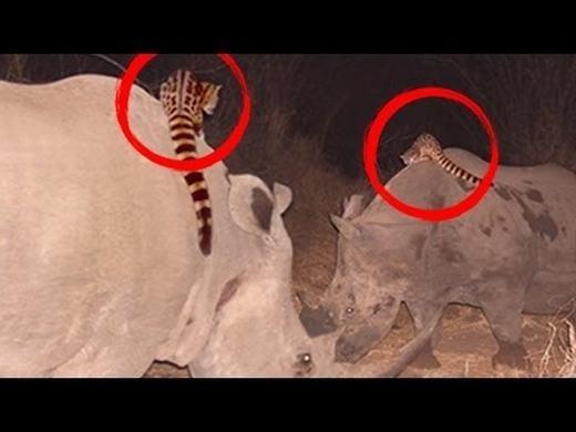 """Cầy genet được ví là động vật có """"máu liều"""" nhất thế giới. Dù có thân hình nhỏ bé nhưng chúng thường xuyên cưỡi-lên-đầu-lên-cổ cáccon vật lớn hơn(như trong hình là tê giác), khiến những ngườichứng kiến phải """"há hốc mồm"""" kinh ngạc. (Ảnh: Internet)"""