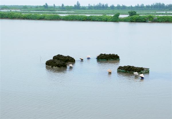 Rong câu phát triển nhiều ở vùng ven biển xã Đông Long, huyện Tiền Hải. Chủ đầm nuôi tôm sú, hải sản ở ven đê lấn biển thường thả thêm ít rong để mọc tự nhiên. Đến mùa thu hoạch, chủ đầm bán cho người vớt rong quanh vùng, họ sơ chế rồi bán lại cho các nhà máy.