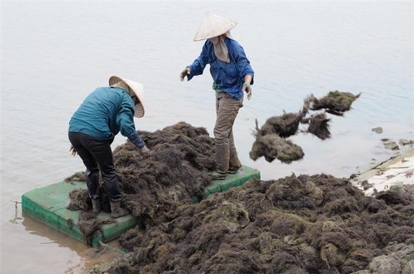 Đi vớt rong chủ yếu là phụ nữ. Họ dùng bè xốp và dầm mình giữa đầm từ sáng sớm đến chiều tối để vớt rong, rồi chuyển dần lên triền đê cho ráo nước. Bữa cơm trưa của họ ăn vội ngay tại những triền đê.