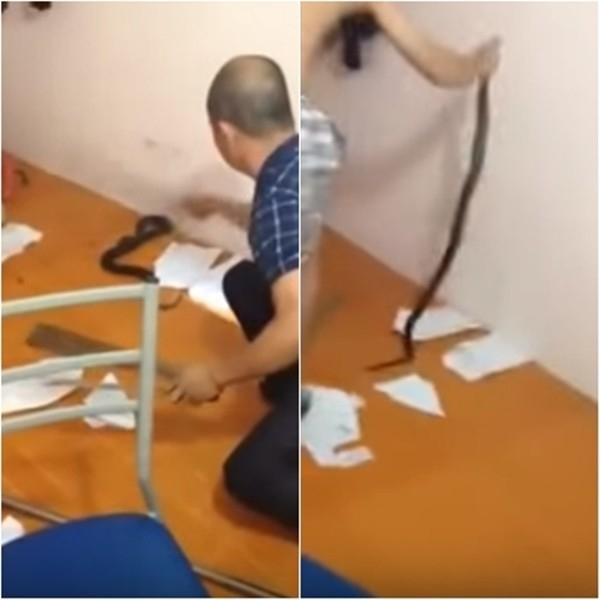 Con rắn hổ mang chúa được bắt trong phòng trọ của sinh viên ở Hà Nội. Ảnh: Internet