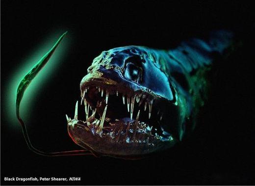 Dragonfish có tên khoa học là Grammatostomias flagellibarba, sống ở độ sâu 1500m tạikhắp các vùng biển trên thế giới. Cũng giống như Fangtooth, Dragonfish là một kẻ săn mồi hung dữ dù cơ thể chỉ 13cm, có đầu lớn và miệng được trang bị răng nanh rất sắc nhọn. (Ảnh: Internet)
