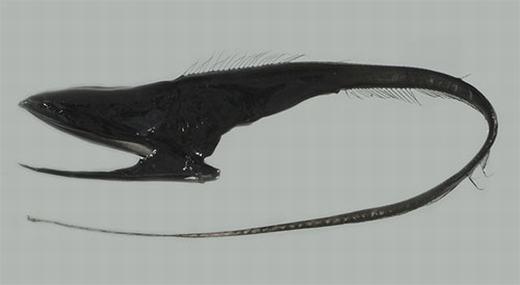 Lươn Gulper có tên khoa học là Eurypharynx pelecanoides, là một trong những sinh vật kì lạ nhất được tìm thấy dưới đáy đại dương sâu thẳm với miệng rộng, có thể mở to để nuốt con mồi lớn hơn chúng nhiều lần. Dạ dày của lươn Gulper cũng có thể kéo dài để thích ứng với các bữa ăn lớn của nó. Loài cá này được tìm thấy ở độ sâu 914m - 1.828m trên khắp mọi vùngđại dương. (Ảnh: Internet)