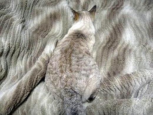 Đường vằn vện trên lớp lông quá là hoàn hảo với tấm thảm bên dưới. (Nguồn: Internet)