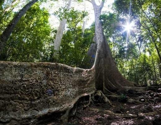 Những thân cây với phần rễ vĩ đại là nét chấm phá đặc biệt cho cảnh quan hùng vĩ của rừng Nam Cát Tiên.(Nguồn: Internet)