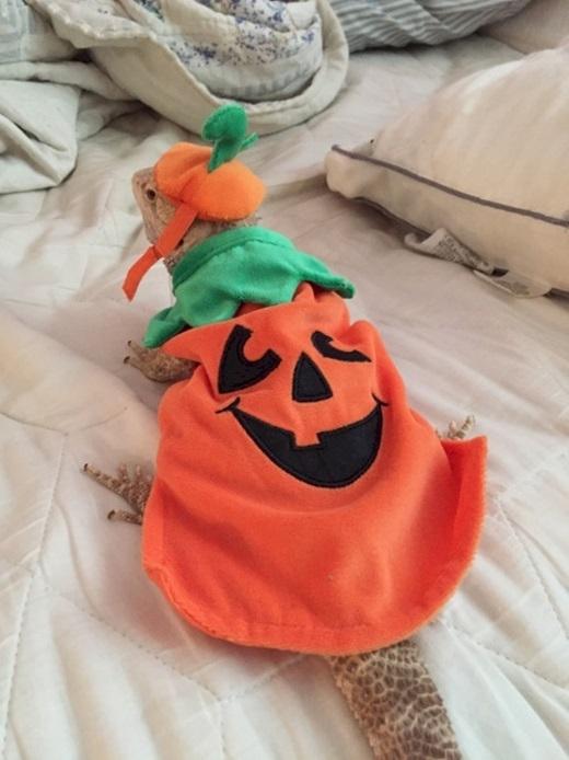 """Tắc kè cũng """"đua đòi"""" chơi Halloween nhé, đừng đùa.(Ảnh: Diply)"""