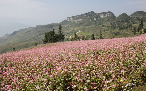 """Hà Giang """"đẹp như thiên đường"""" vàomùa hoa tam giác mạch. (Ảnh: Internet)"""