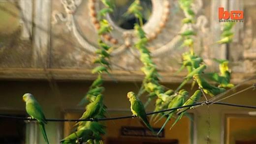 Cận cảnhh người đàn ông nuôi ăn hơn 4000 chú vẹt trong 10 năm