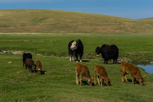 Thảo nguyên Mông Cổ nổi bật với những đàn thú móng guốc sinh sống, trong đó đặc biệtnhất là cácđàn linh dương quần tụ cùng nhau với số lượng rất lớn. Các bầy thú móng guốc thường tụ hội cùng nhau trước khi di chuyển đến nơi có nguồn thức ăn phong phú.(Ảnh: Internet)