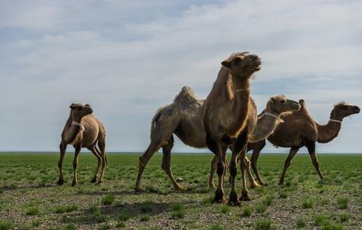 Không thể thiếu sự góp mặt của những chú lạc đà – loài vậtchuyên dùng cho việc đi lại trên sa mạc cằn cỗi.(Ảnh: Internet)