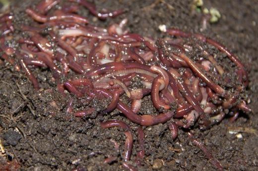 """Nuôi giun lấy phân cũng là nghề khá """"độc"""". Nó hình thành sau khi các nhà nghiên cứu phát hiện khả năng cải tạo đất của giun đất. (Ảnh: Internet)"""