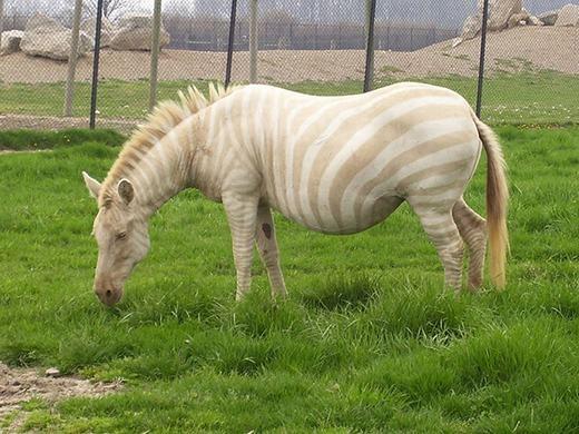 Trong ảnh làmột con ngựa vằn bị bệnh bạch tạng,phần vân trắng trên người đã đượcthay vàomàu vàng nhạt. (Ảnh: Oddee)