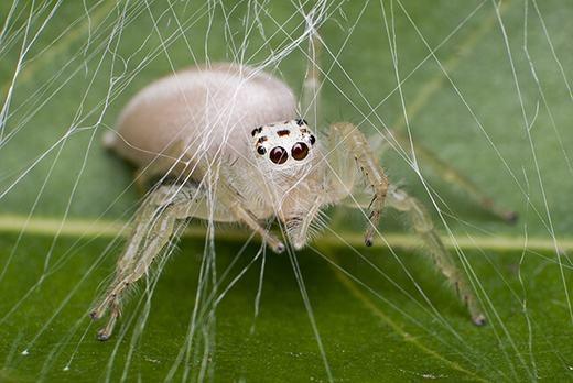 Một con nhện bạch tạng được phát hiện vào năm 2013 bởi Jeremy Mendoza và xuất hiệntrên National Geographic. (Ảnh: Oddee)