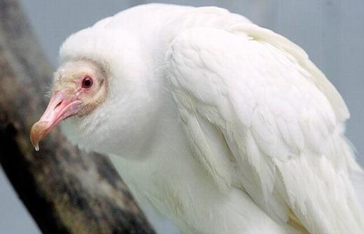 Một con kền kền bị bạch tạng có tên là Oxy, cư trú tại Khu bảo tồn chim Thế giới ở St. Louis, Missouri. Đâylà con kền kền bạch tạng duy nhất được phát hiện từ trước tới nay. (Ảnh: Oddee)