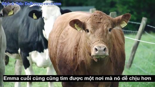 Biết mình sắp bị bán, chú bò bỗng nhiên bật khóc
