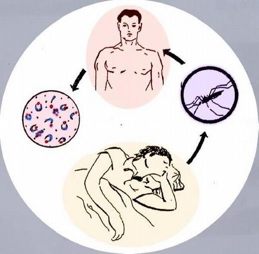 Chúng lây bệnh sốt rét cho người khỏe mạnh. (Ảnh: Internet)