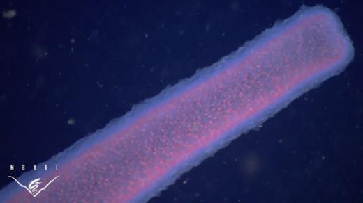 Theo đó, loài giun mới có tên khoa họclà Pyrosome, kích thước rất lớn, màu trắng bạc, trắng, xanh, thậm chí màu hồng, sống ở các vùng biển nhiệt đới ấm áp. Chúng cũng có cấu tạo cơ thể hết sức kì lạ. (Ảnh: Internet)