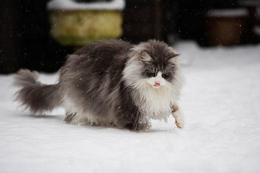Giả thuyết được chấp nhận rộng rãi hiện nay cho rằngđây làsản phẩm của việc lai giống giữamèo nhà lông ngắnđịa phương với mèo lông dài do các thủy thủ ngườiVikingmang tới vào thế kỉ11. (Ảnh: Boredpanda)