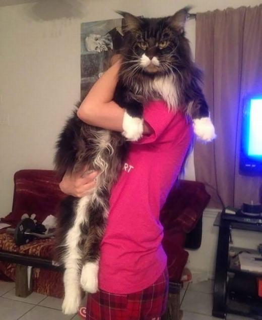"""""""Mục sở thị"""" loài mèo siêu lớn, siêu """"ngầu"""" ai cũng muốn sở hữu"""