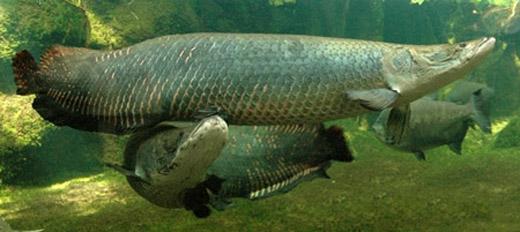 """Dù có kích cỡ """"khủng"""" nhưng do sở hữu hình dáng đẹp cùng màu sắc bắt mắt nên chúngđược cư dân Nam Mỹ lựa chọn nuôi làm cá cảnh. Không những thế, người dân ở Đông Nam Á - cụ thể là người Thái Lan - cũng có sở thích nuôi loài cá này.(Ảnh: Internet)"""
