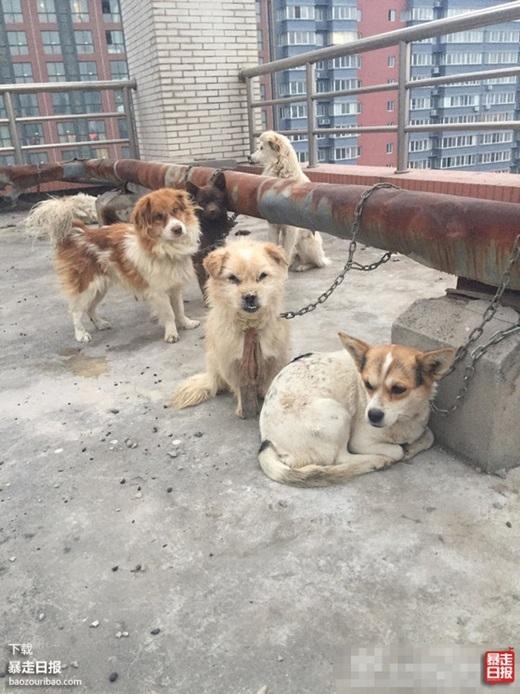 Những chú chó đáng thương bị xích lại trên tầng thượng. (Nguồn Internet)