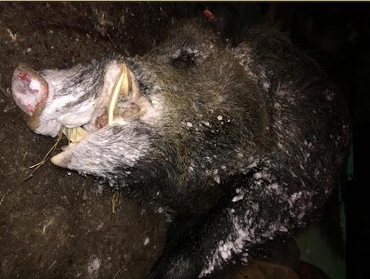 Thợ săn Nga lập kỉ lục săn lợn rừng nửa tấn