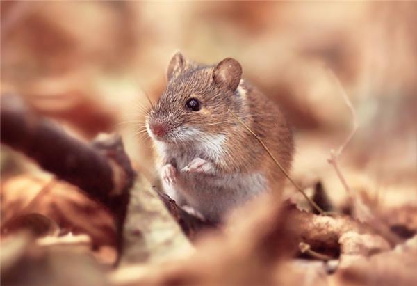 Chuột là loài động vật không thân thiện với cuộc sống con người. (Ảnh Internet)